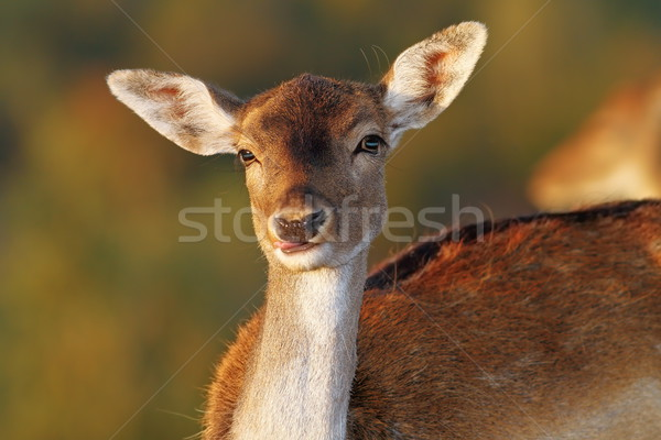 fallow deer doe portrait looking at camera Stock photo © taviphoto
