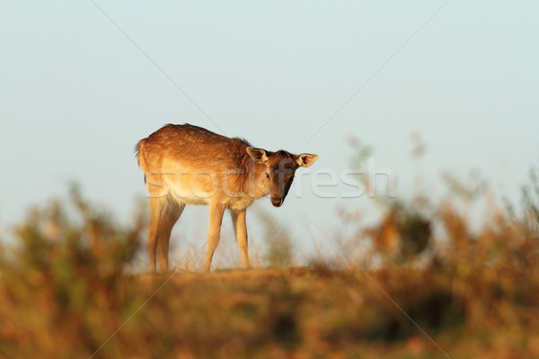 Stock photo: fallow deer calf on a meadow