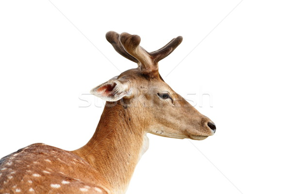 isolated portrait of fallow deer stag Stock photo © taviphoto