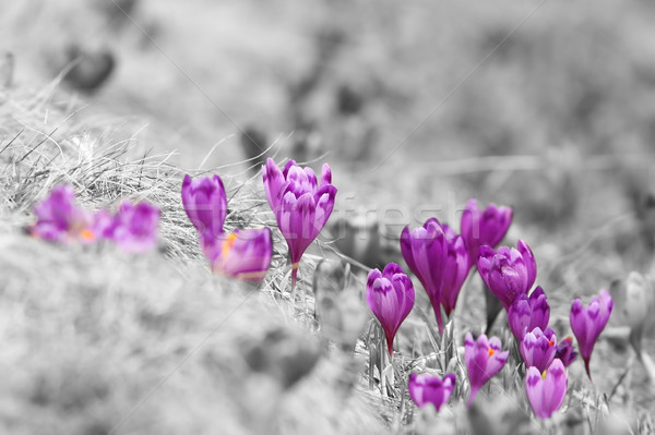 abstract view of spring crocuses Stock photo © taviphoto