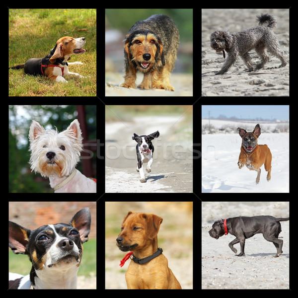 внутренний собаки коллекция счастливым домашние Сток-фото © taviphoto