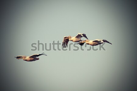 vintage image with three pelicans in flight Stock photo © taviphoto