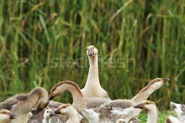 群れ 国内の ギース ファーム 背景 緑 ストックフォト © taviphoto