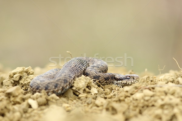 male hungarian meadow  viper on the ground Stock photo © taviphoto