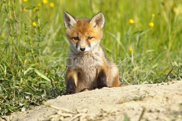 Cute Fuchs Welpen rot Frühling Stock foto © taviphoto