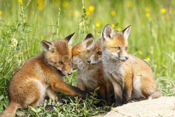 family of young foxes Stock photo © taviphoto