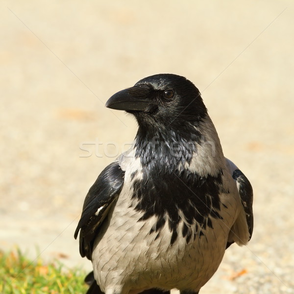 portrait of hooded crow Stock photo © taviphoto