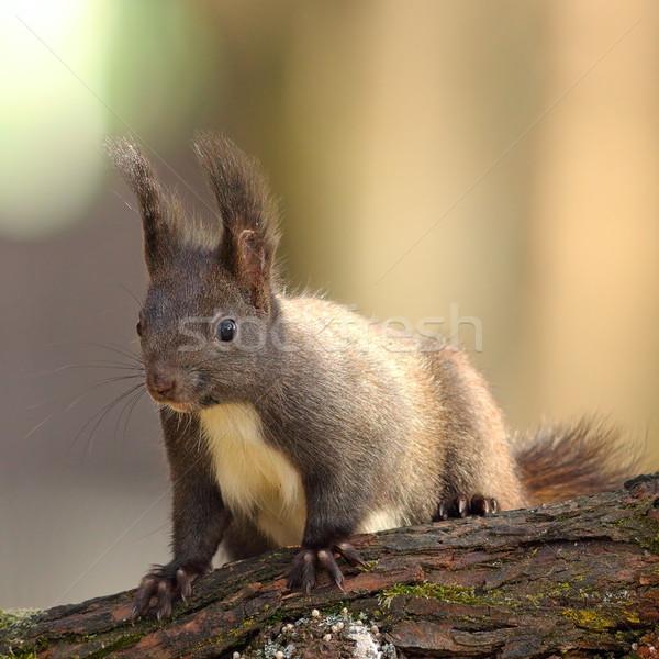 Aranyos vad piros mókus áll ág Stock fotó © taviphoto