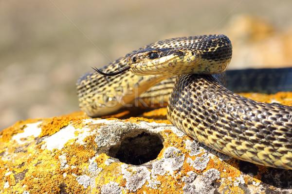 змеи готовый атаковать зеленый портрет Весы Сток-фото © taviphoto
