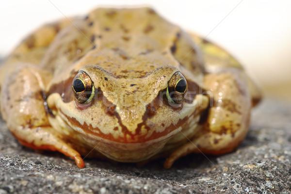 common frog portrait Stock photo © taviphoto