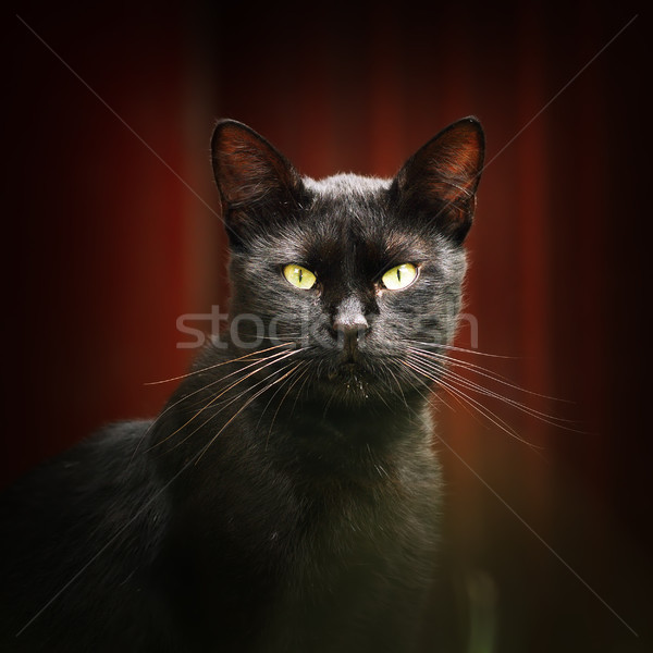 black cat looking at the camera Stock photo © taviphoto