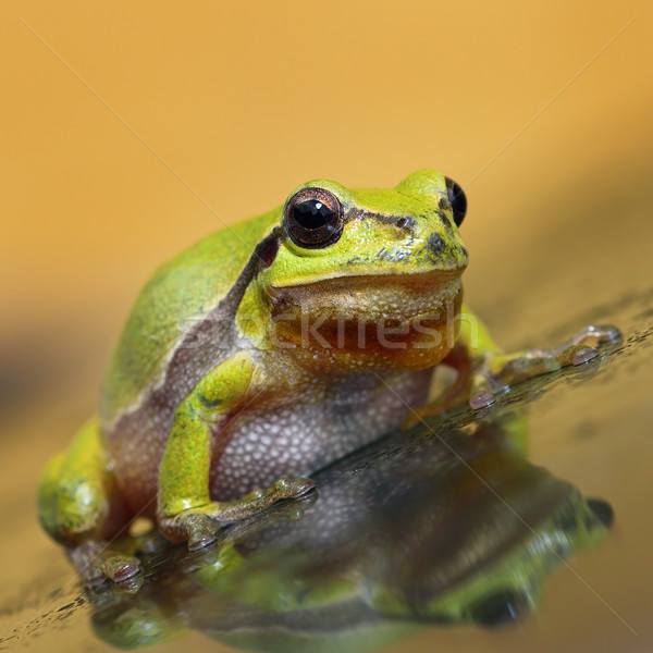 cute green tree frog full length Stock photo © taviphoto