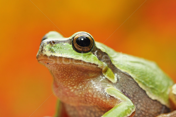 green tree frog portrait over colorful background Stock photo © taviphoto