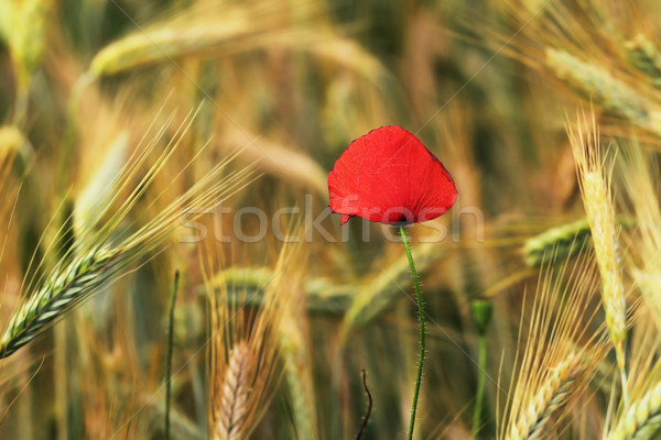 colorful wild poppy growing in wheat field Stock photo © taviphoto