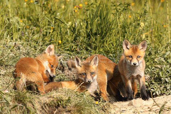 Familie jungen rot Baby Hund Gesicht Stock foto © taviphoto