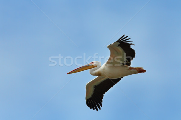 great white pelican flying over the camera Stock photo © taviphoto