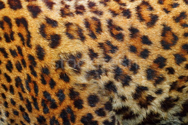 detail of leopard fur Stock photo © taviphoto