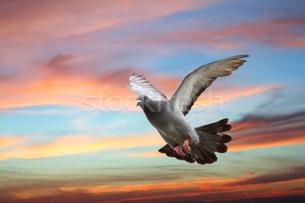 pigeon flying over beautiful sunset sky Stock photo © taviphoto