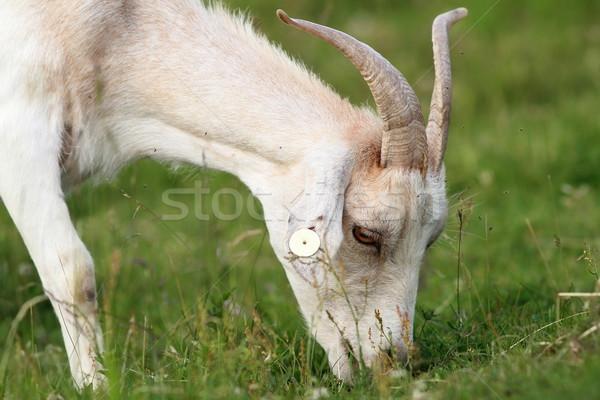 Alb capră proaspăt iarbă luncă fermă Imagine de stoc © taviphoto