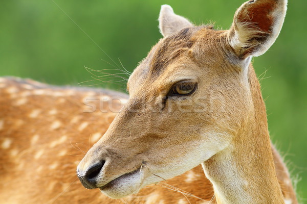 cute fallow deer doe portrait Stock photo © taviphoto