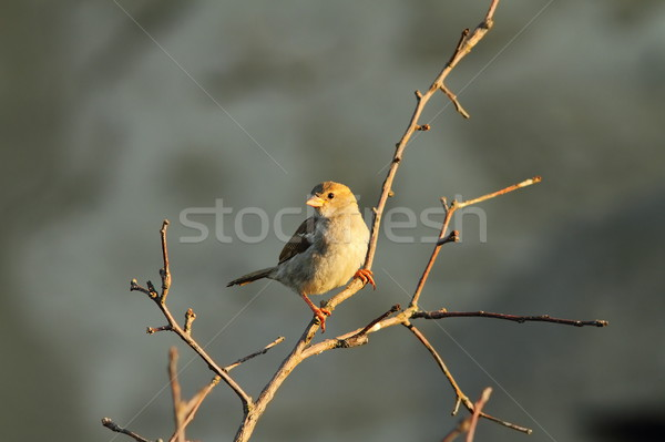 female passer domesticus on twig Stock photo © taviphoto