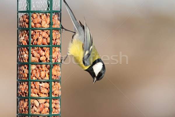 great tit on peanut garden feeder Stock photo © taviphoto