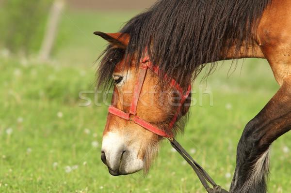 Marrón caballo retrato verde césped belleza Foto stock © taviphoto