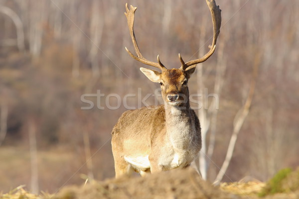 beautiful majestic fallow deer stag Stock photo © taviphoto