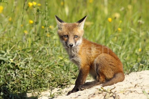 Aranyos európai róka medvebocs piros néz Stock fotó © taviphoto