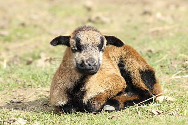 Fiatal lusta kecske barna fektet zöld fű Stock fotó © taviphoto