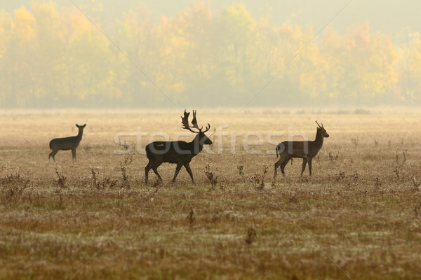 fallow deer family in morning mist Stock photo © taviphoto