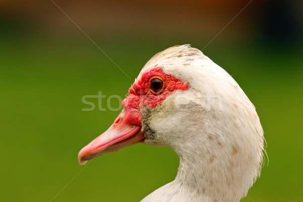 portrait of muscovy duck Stock photo © taviphoto