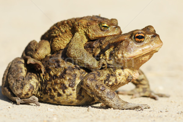 brown toads mating in spring  Stock photo © taviphoto