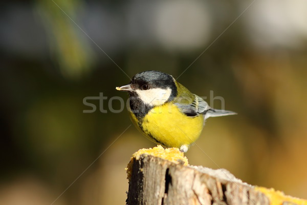 cute great tit on wooden stump Stock photo © taviphoto