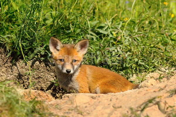 small fox cub in front of the den Stock photo © taviphoto