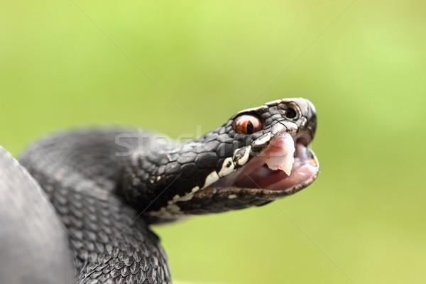 black berus viper showing fangs Stock photo © taviphoto