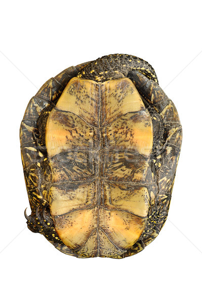 Сток-фото: изолированный · европейский · пруд · черепахи · белый · мнение