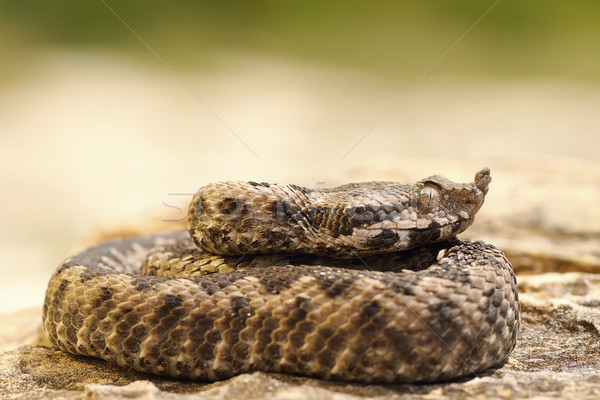 poisonous snake youngster basking on stone Stock photo © taviphoto