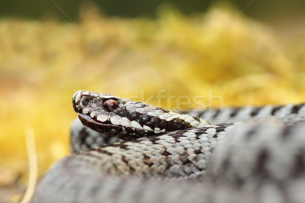 portrait of male Vipera berus Stock photo © taviphoto