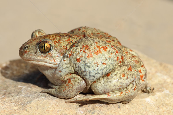 profile view of garlic toad Stock photo © taviphoto