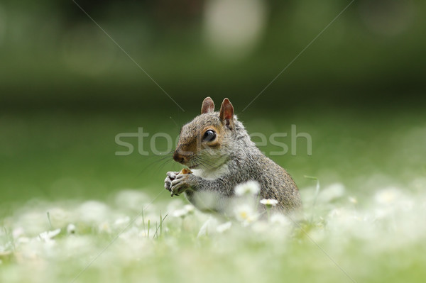 cute squirrel eating nut Stock photo © taviphoto