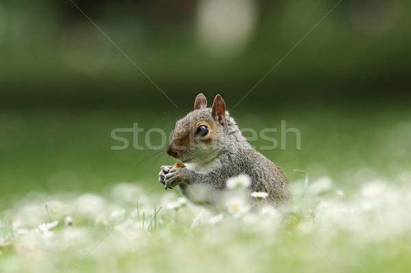 Cute écureuil manger écrou gris noix Photo stock © taviphoto