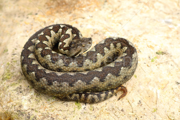 Stock photo: sand viper basking on a rock