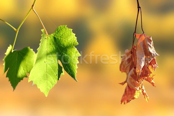 Vida morte dois folhas vinha outono Foto stock © taviphoto