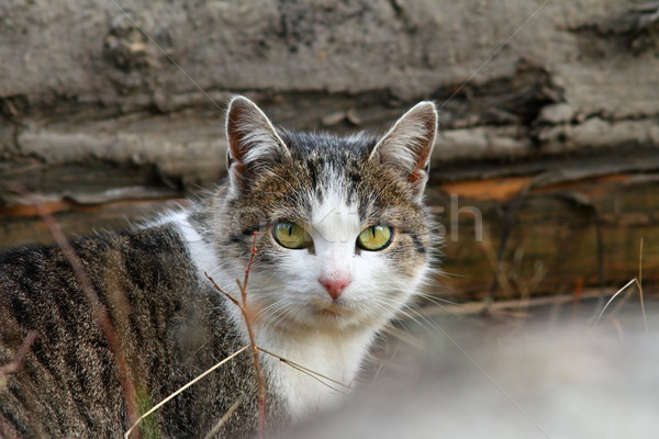 domestic mottled cat Stock photo © taviphoto