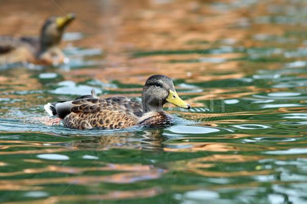 Kaczka pływanie powierzchnia wody spokojny wody ptaków Zdjęcia stock © taviphoto
