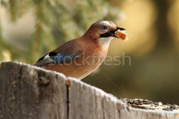 common jay eating a piece of bread Stock photo © taviphoto