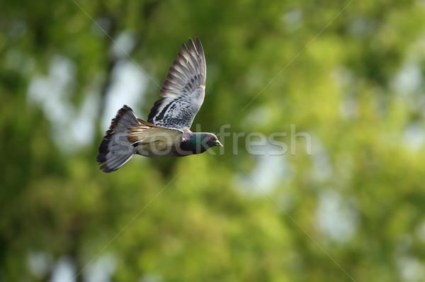 Duif vlucht uit focus bos groene Stockfoto © taviphoto