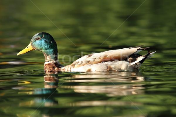 male mallard swimming on pond Stock photo © taviphoto