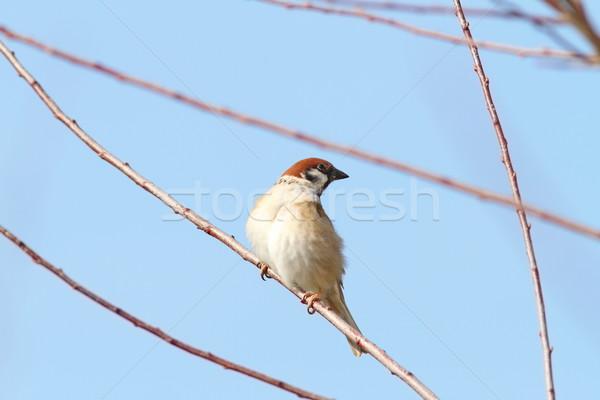 Masculino pardal galho blue sky jardim pena Foto stock © taviphoto